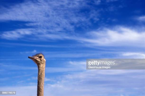 ostrich head - long neck animals stock pictures, royalty-free photos & images