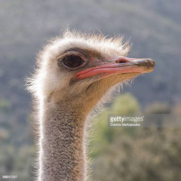 ostrich head - ostrich stock pictures, royalty-free photos & images