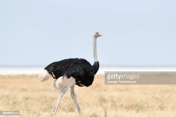 Ostrich in Etosha national park, Namibia