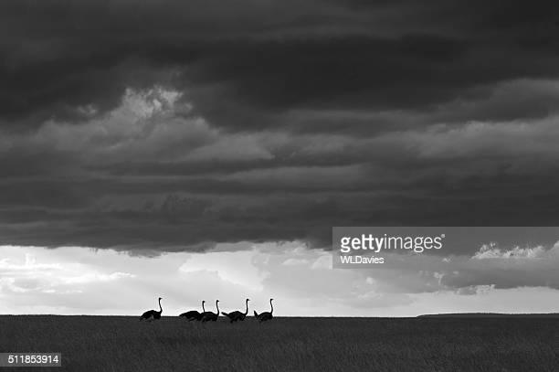 Ostrich in savannah