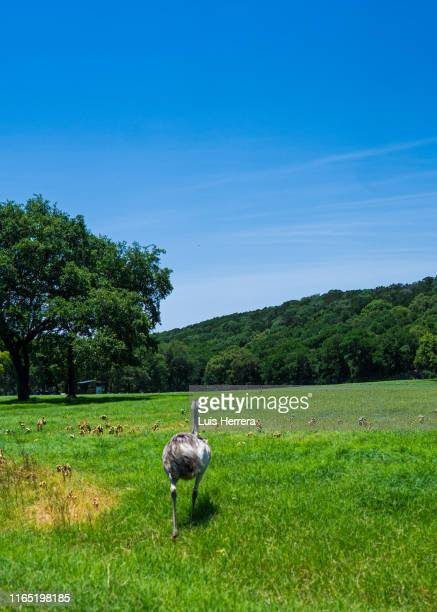 ostrich in the field - emu farming stock pictures, royalty-free photos & images