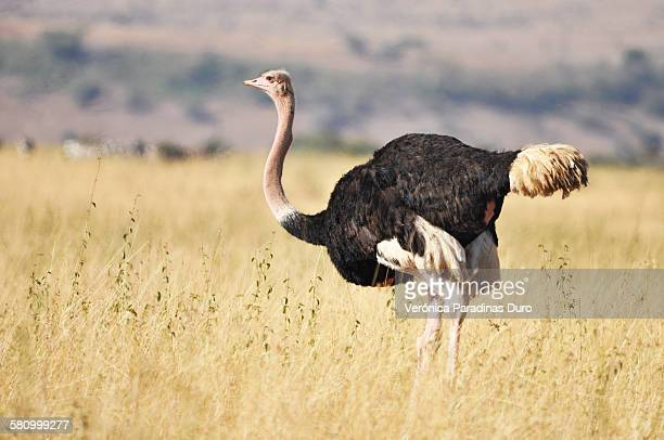 Ostrich looking at the infinite