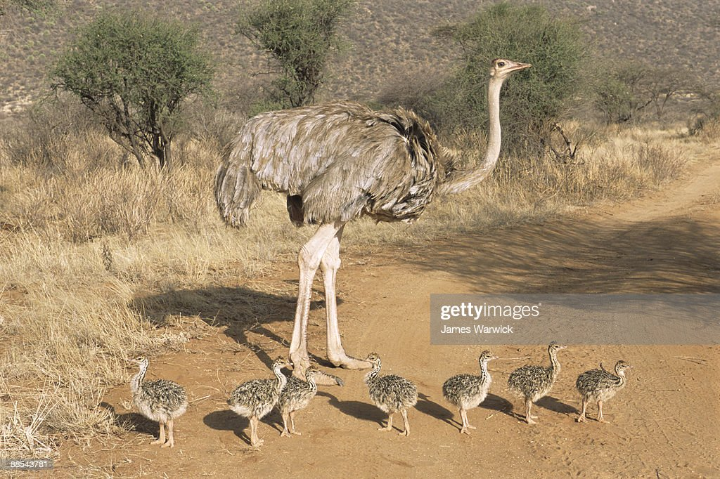 Ostrich mother with chicks on track : Stock Photo