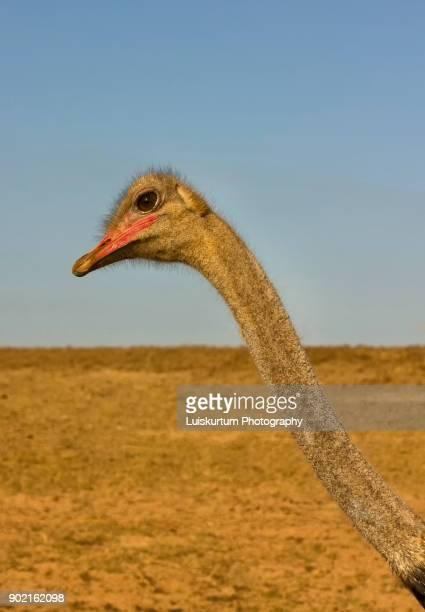 Ostrich neck