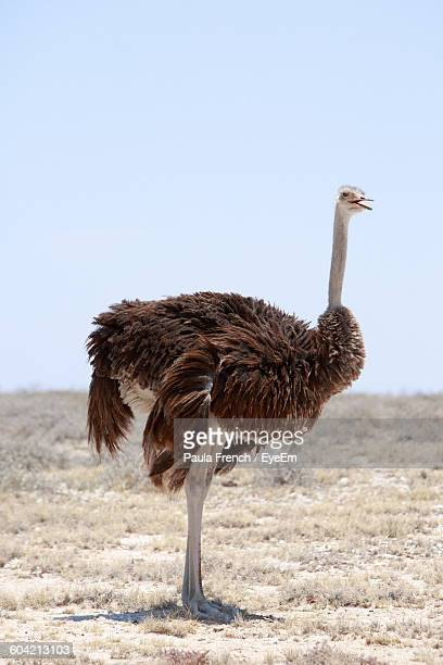 Ostrich On Field Against Clear Sky