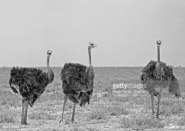 ostrich on field against sky - ostrich stock pictures, royalty-free photos & images