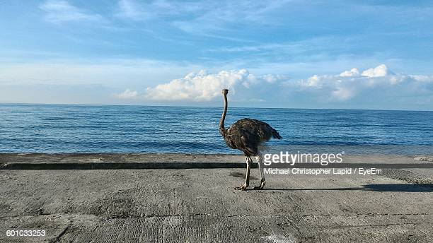 Ostrich On Shore Against Sea And Sky