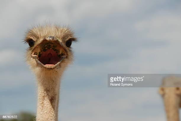 ostrich (struthio camelus) oudtshoorn, south africa - schnabel stock-fotos und bilder