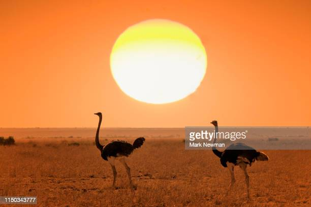 ostrich - kenya newman stock pictures, royalty-free photos & images