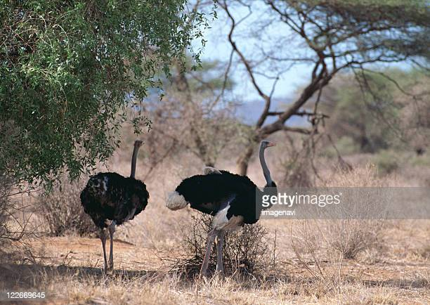 ostrich - eastern african tribal culture stock photos and pictures