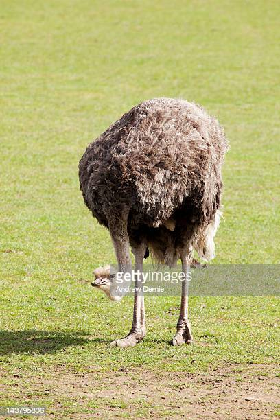 ostrich - andrew dernie stock pictures, royalty-free photos & images