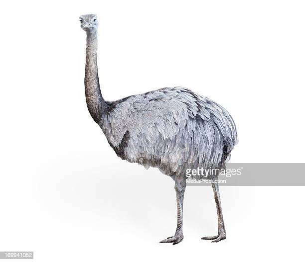 ostrich - ostrich stock pictures, royalty-free photos & images