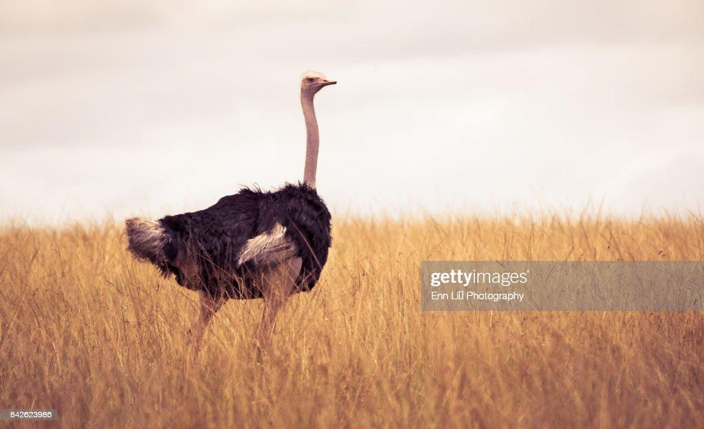 Ostrich (Struthio camelus) : Stock Photo