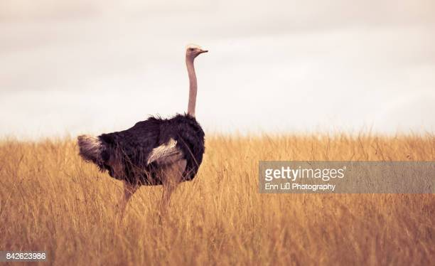 ostrich (struthio camelus) - ostrich stock pictures, royalty-free photos & images
