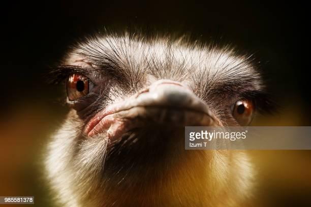 ostrich - avestruz fotografías e imágenes de stock