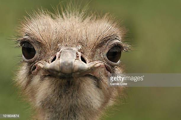 ostrich portrait - moncton stock photos and pictures