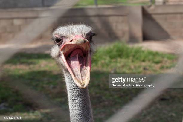 ostrich portrait - lima animal stock pictures, royalty-free photos & images
