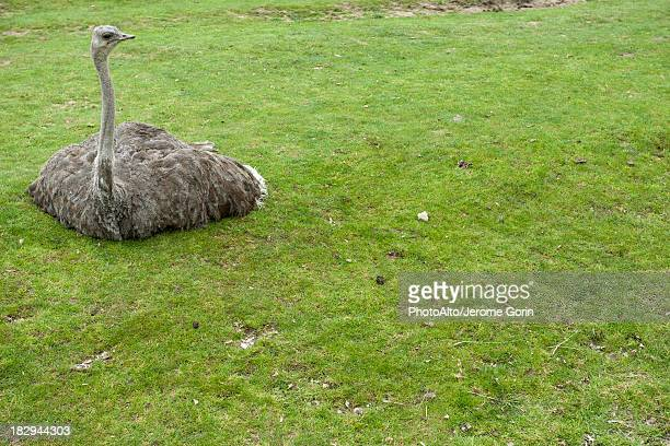 ostrich sitting on grass - ostrich stock pictures, royalty-free photos & images