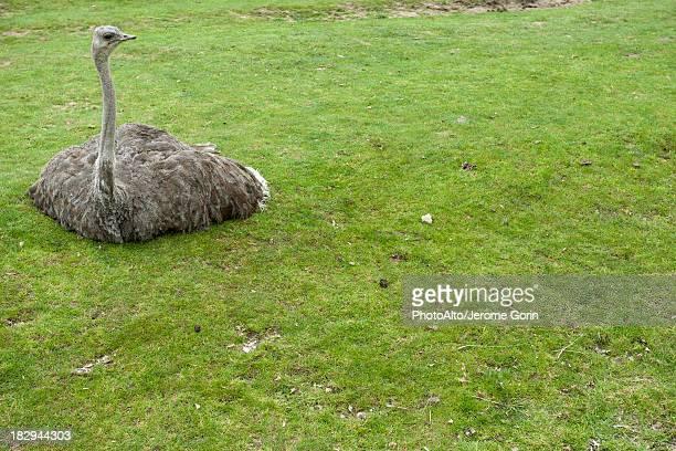 ostrich sitting on grass - ostrich stockfoto's en -beelden