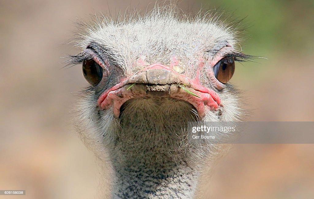Ostrich Staredown : Stock Photo