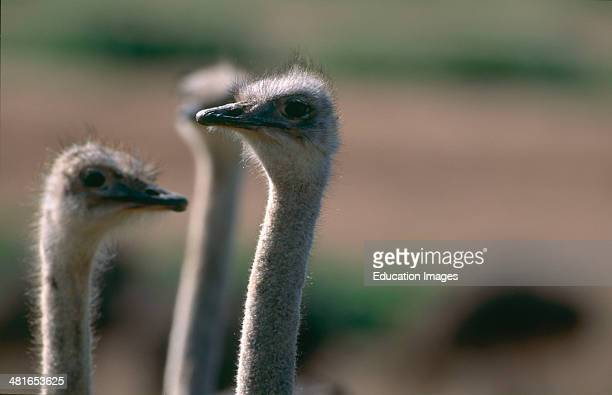 Ostrich Struthio camelus australis in Addo Elephant National Park Ostriches are fast runners and the largest living birds and are omnivores but live...
