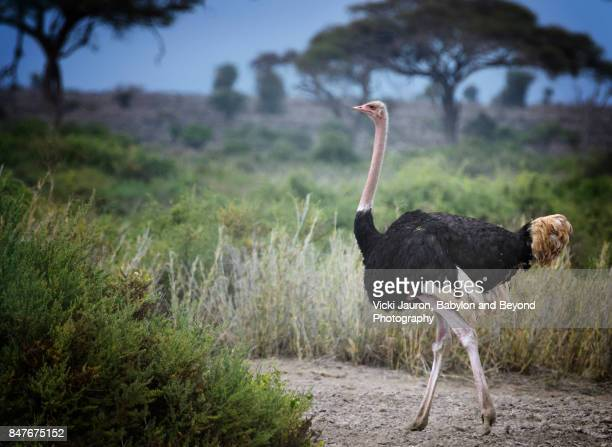 ostrich strutting in amboseli, kenya - ostrich stock pictures, royalty-free photos & images