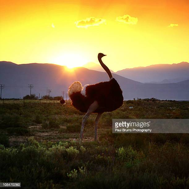 ostrich sunset - the karoo stock photos and pictures