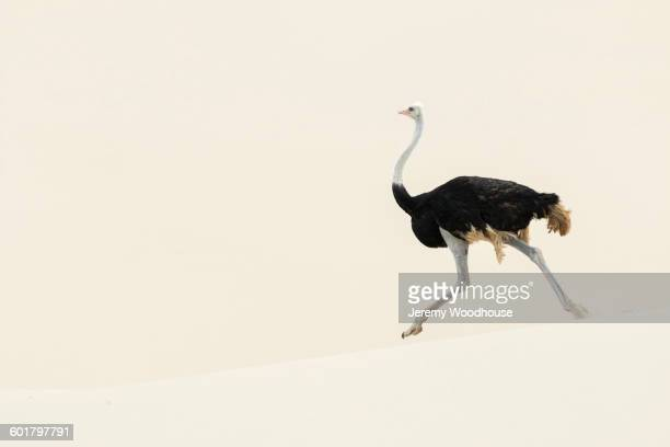 Ostrich walking in sand dune