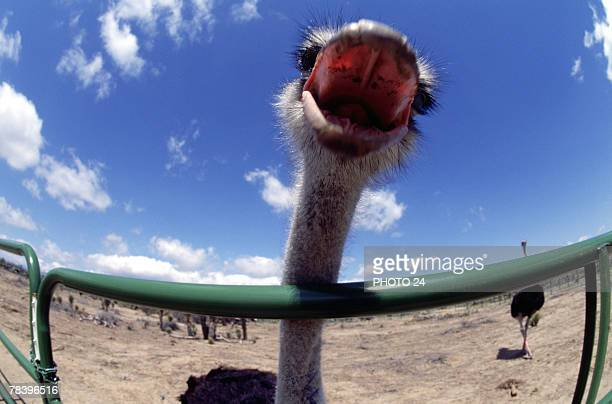 Ostrich with mouth open