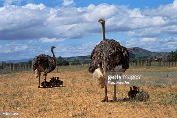 Ostriches and Chicks