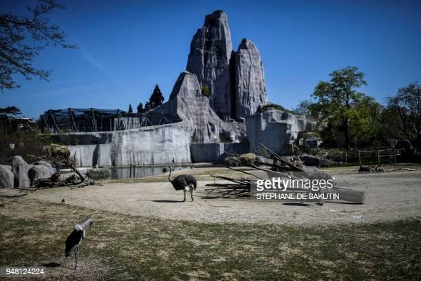 Ostriches are pictured on April 18 2018 at the Parc Zoologique de Paris or Zoo de Vincennes part of the Musee National d'Histoire Naturelle / AFP...
