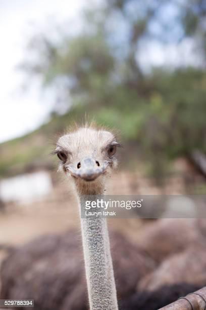Ostriches at an ostrich farm