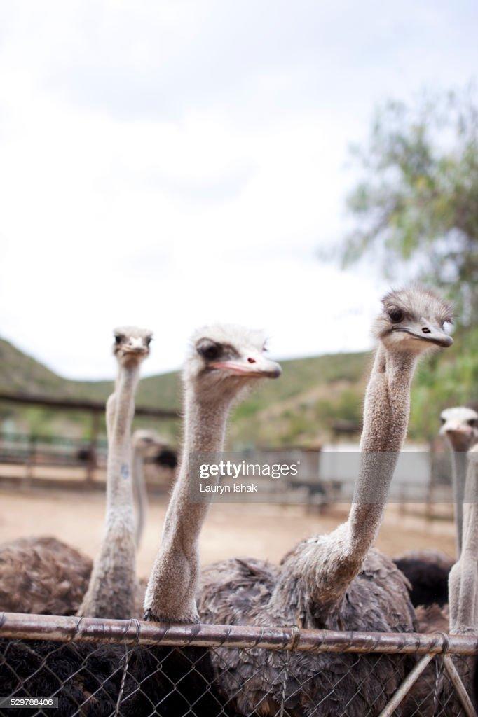 Ostriches at an ostrich farm : Stock Photo