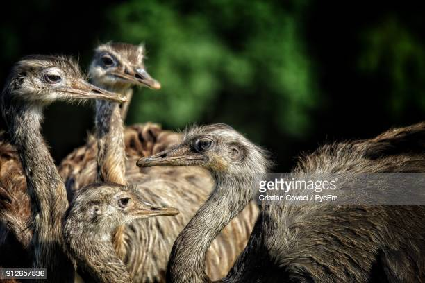 Ostriches At Outdoors