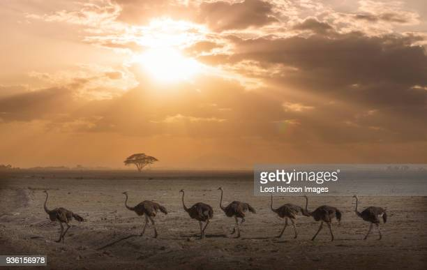 ostriches at sunset in amboseli national park, amboseli, rift valley, kenya - amboseli stock photos and pictures