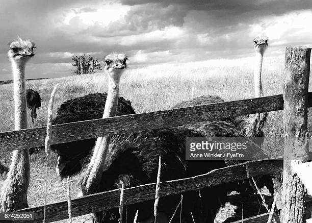 Ostriches By Fence On Field Against Cloudy Sky