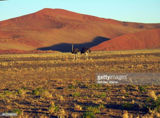 Ostriches in the dune area
