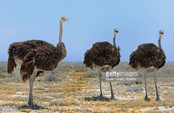 Ostriches On Landscape Against Clear Sky