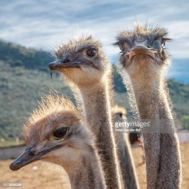 Ostriches, Oudtshoorn, Western Cape Province South Africa.