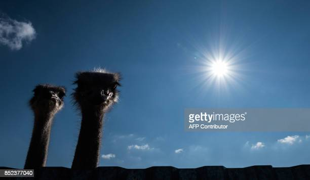 Ostriches peer out from an enclosure at an ostrich farm near the town of Chekhov, some 75km south of Moscow, on September 23, 2017. / AFP PHOTO /...