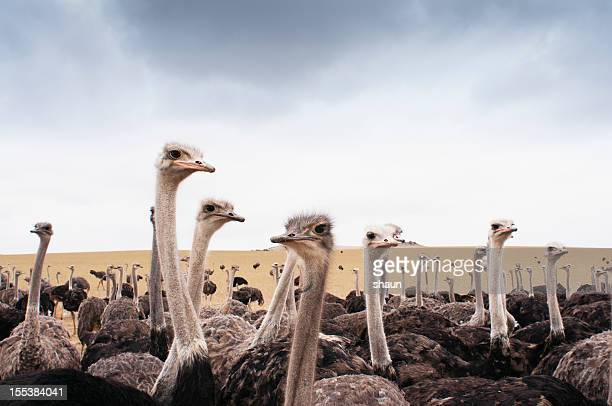 ostriches - ostrich stock pictures, royalty-free photos & images
