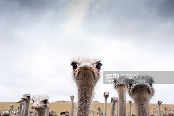 ostriches - animal themes stock pictures, royalty-free photos & images