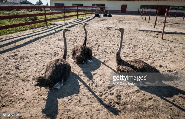 Ostriches rest inside an enclosure at an ostrich farm near the town of Chekhov, some 75km south of Moscow, on September 23, 2017. / AFP PHOTO / Yuri...