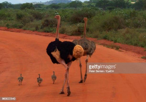 ostriches walking on dirt road - flightless bird stock photos and pictures