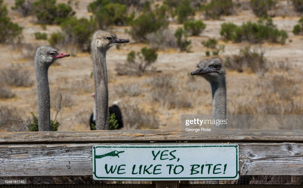 OstrichLand USA Draws Global Visitors : News Photo
