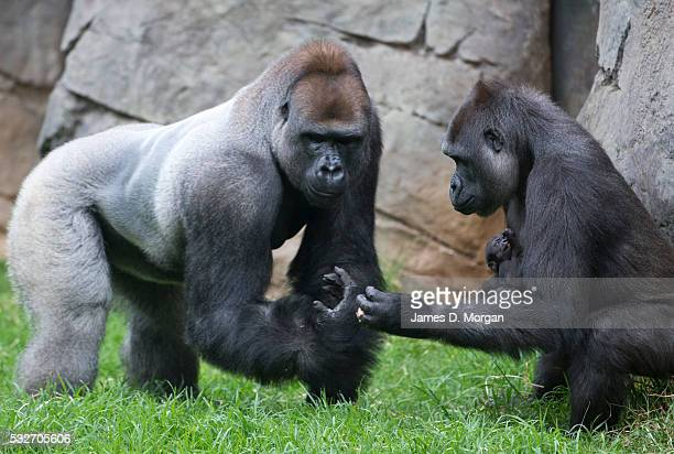 Otana , Kimya and yet un-named baby at Melbourne zoo, a few weeks into the new birth of the baby gorilla on March 31, 2015 in Melbourne, Australia.