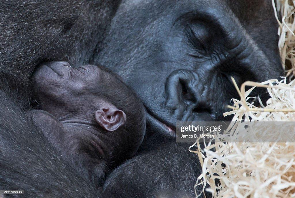 Gorilla's At Melbourne Zoo With New Born Baby Gorilla. : Fotografía de noticias