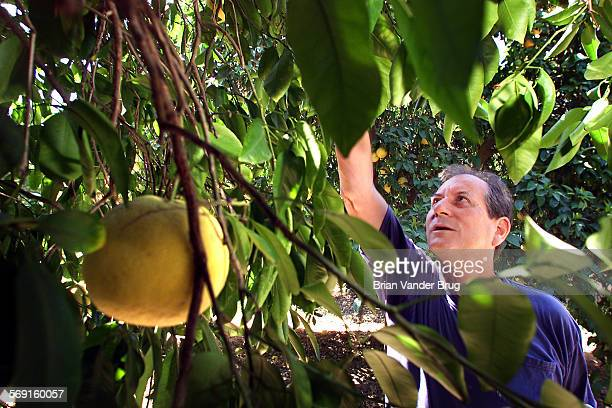 Otis Hackett of Woodland Hills picks graprfruit at the Orcutt Ranch in West Hills Saturday morning during the ranch's Fruit Pick Weekend which will...