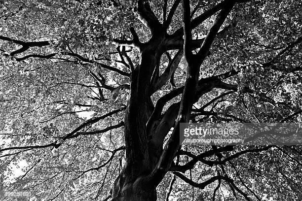 otley chevin large tree - オトレイ ストックフォトと画像