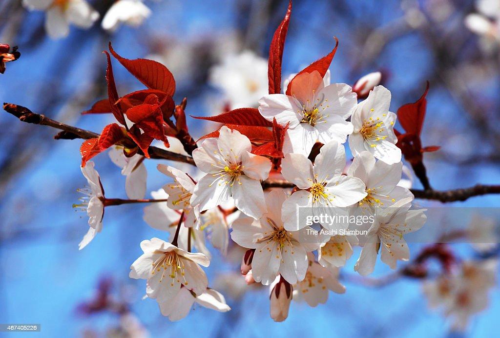Otsubo-no-Ippon-Zakura, or solo cherry blossom in Otsubo, is in full bloom on March 23, 2015 in Kunitomi, Miyazaki, Japan.